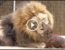 teckel ami avec lion