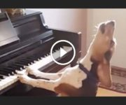 chien qui joue du piano