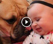 bulldog et petite fille