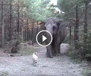 labrador elephant