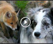 renard adopté par des chiens