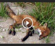 sauvetage renard