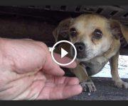 sauvetage chien micro puce