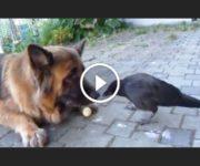 berger allemand et corbeau
