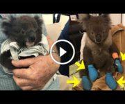 Koalas feux de foret