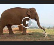 amitié éléphants chiens