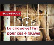 cirque lions fauves
