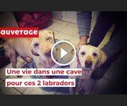 sauvetage labradors