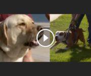 labrador pitbull agressifs