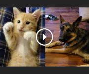 amitié chaton berger allemand