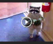 chats ratons laveurs