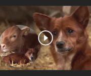 chien vache amitié