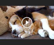 beagle chatons