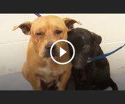 adoption deux chiens inséparables