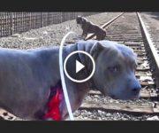 sauvetage pitbull