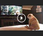 bulldog regarde film king kong