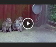 singes macaques