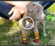 CHIENNE pitbull sans pattes avant