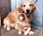 chien protecteur