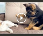 chaton chiot berger allemand