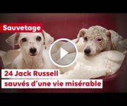 sauvetage jack russell
