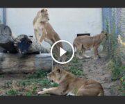 lions brigitte bardot